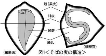 そばの実断面図.jpg