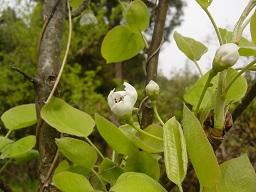 梨の花.jpg